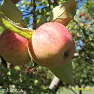 What I Love Wednesday – Apples!