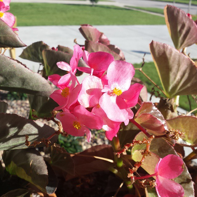 Trying to put together a #fall front #porch but these begonias I planted in June are still bloomong! I just can't bring myself to move them. #summer #flowers