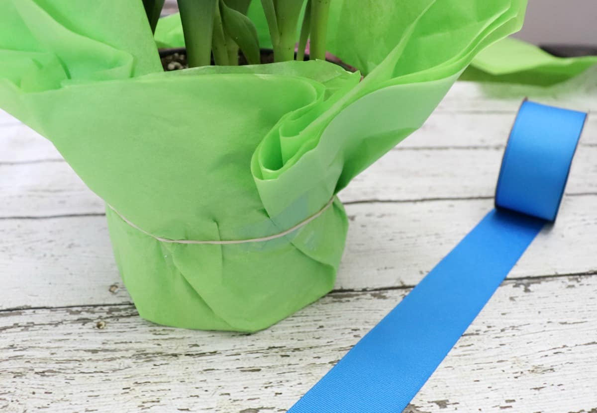 Dollar store plant wrapping idea with tissue paper and ribbon
