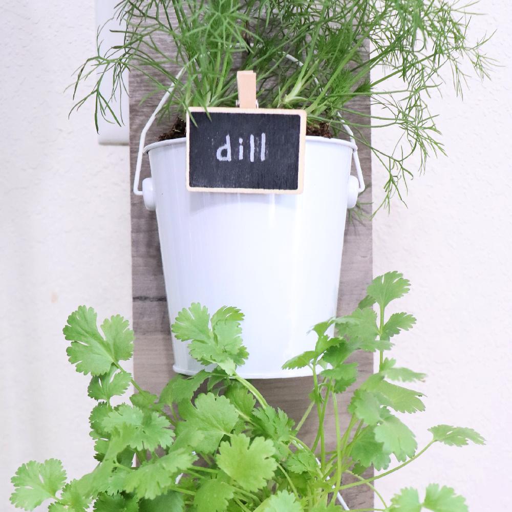 Dill Dollar Tree Herb Planter